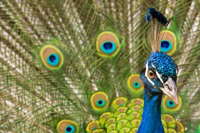 indian-peafowl